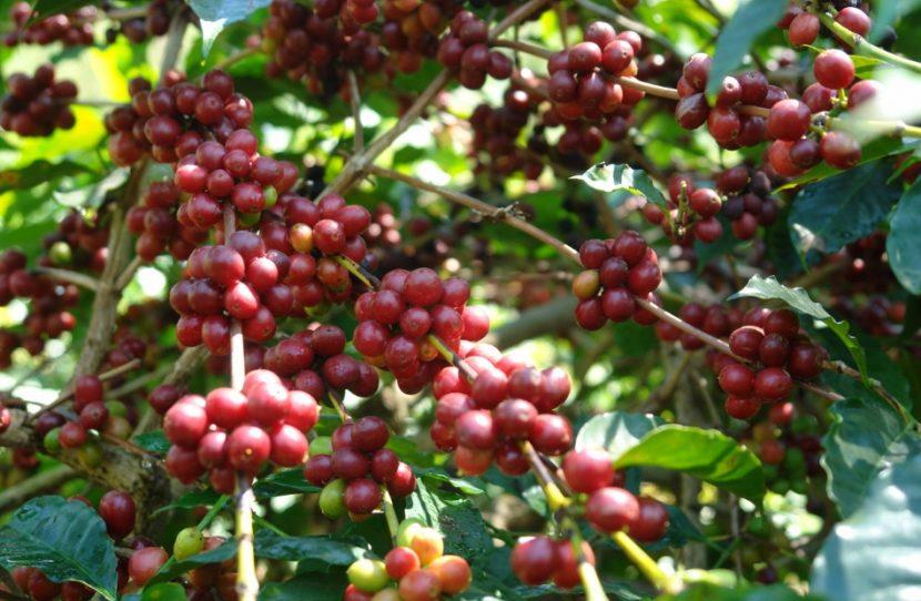 cara budidaya kopi robusta