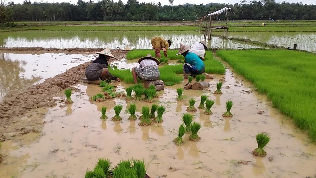 cara-menanam-padi-tradisional