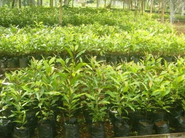 cara menanam pohon cengkeh